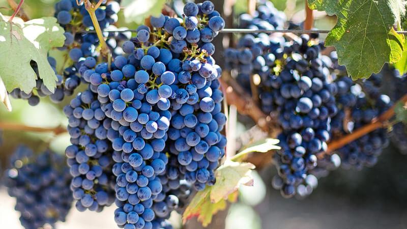ワインに使用される黒ブドウ