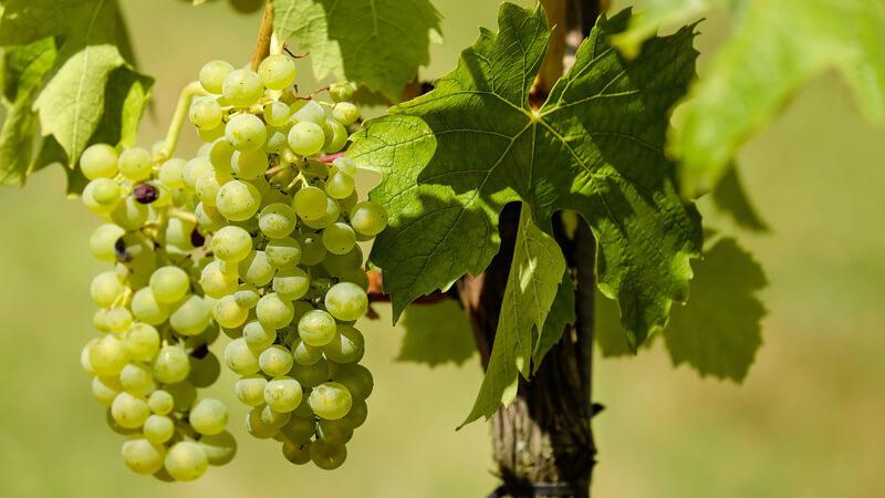 ワインに使用される白ブドウ
